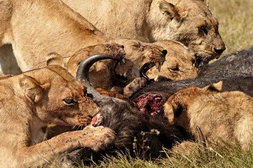 lions-eating-buffalo-1-hour-after-kill500.jpg